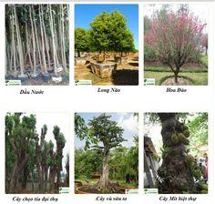 Các loại cây công trình – cây xanh công trình -Viantrees