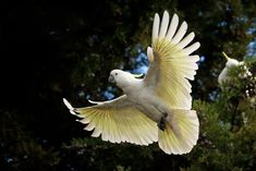 The Sulphur-crested Cockatoo is Australia's most famous cockatoo, easily recognised by their signature yellow crest and wings. Animals Of The World, Animals And Pets, Cute Animals, Australian Bush, Australian Animals, Beautiful Birds, Animals Beautiful, National Geographic Photography, Murals Street Art