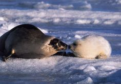 tuleň grónský - Hledat Googlem