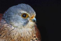 Common Kestrel / I took these captive Birds of Prey at a Stoneham Barns / Nigel Pye