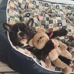 French Bulldog Puppy, @themonster_house on instagram