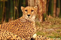 Cheetah in grasslands photo by Georgia Evans is available at fotolia.com