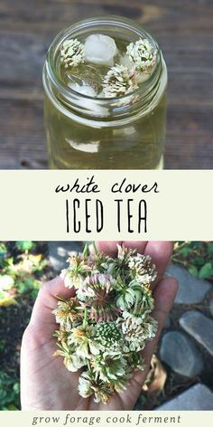 White Clover Iced Tea White clover iced tea is not only delicious but is also high in vitamins and minerals. Learn how to make this tasty and refreshing foraged drink! The post White Clover Iced Tea appeared first on Getränk. Healing Herbs, Medicinal Plants, Iced Tea Recipes, Pumpkin Recipes, Edible Wild Plants, Flower Food, Wild Edibles, Tea Blends, Edible Flowers