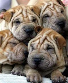 Awww...Shar Pei Puppies! I was blessed to have a beautiful girl Shar Pei for 12 yrs. She was my baby. I miss KC