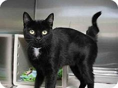 Pasadena, CA - Domestic Mediumhair. Meet CLEO, a cat for adoption. http://www.adoptapet.com/pet/11857794-pasadena-california-cat