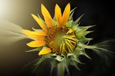 Free Image on Pixabay - Sunflower, Nature, Flora, Flower Free Pictures, Free Images, Photography Tips, Landscape Photography, Nature Photography, Photography Projects, Sunflower Leaves, Sunflower Flower, Sunflower Seeds