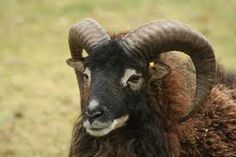 Before the Marino and then Ryeland got a foothold in the West Country the smaller Soay was the sheep of choice for the Bronze Age farmer.