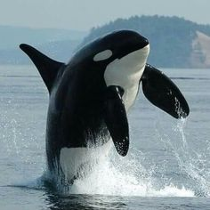 Beautiful Orca .                                                                                                                                                     More
