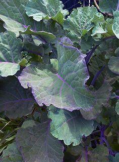 "Kale 'Richmond's Pride' ""Purple Tree Collard"" a perennial grows to 10 feet"