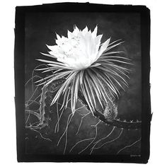DE COSSE, CY (b. 1929)   Group of two photographs. King of the Night. Platinum print, 23 1/2 x 18 3/4 inches (595 x 475 mm), signed and dated (1999) in white on the print border; Together with Queen of the Night. Platinum print, 24 x 18 3/4 inches (610 x 475 mm), signed and dated in pencil (1998). Each print is stamped, titled, and numbered from the edition of 50 on verso.