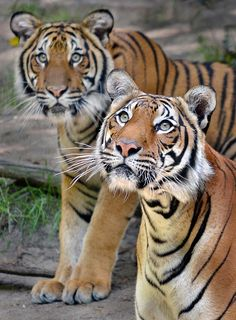 Tiger beat - Malaysian tigers Christopher (left) and his mom Mek are the eyes and  ears of the San Diego Zoo.