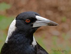 Australian Magpie (Cracticus tibicen) Adult male Australian magpie Crows Ravens, Australian Birds, Magpie, Creatures, Feathers, Flora, Animals, Ravens, Animales