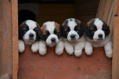 saint bernard puppies - i dont know if i would ever get one but they are beautiful dogs