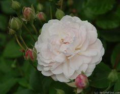 'Multiflore de Vaumarcus' Rose Photo