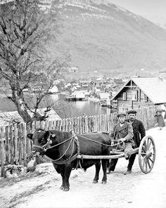 Bullock cart, Sogndal, Norway, ca. 1898-1900