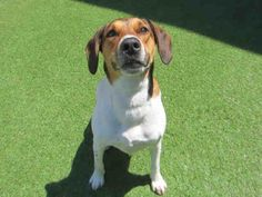 I'm Bella, and I'm super happy to meet you today! Unfortunately, it's not my first time here at the SPCA. I was adopted as a puppy several years ago, but my family could not keep me due to financial difficulties. I am a spayed female, white and brown Hound mix and I am about 4 years old. (ID#A059882)