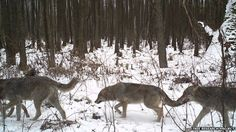 Packs of grey wolves have been recorded across the Chernobyl Exclusion Zone, and seem to have adapted well to life with minimal human interference (Image courtesy of the Tree research project)