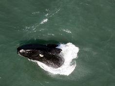 alto de baleia-franca é registrado durante sobrevoo de helicóptero (Foto: Paulo Flores/CMA/ICMBio)