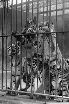 Tiger Cubs Seek Freedom from Zoo Cage