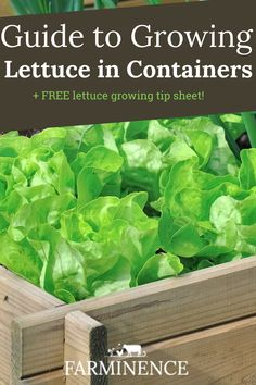Growing lettuce in containers is easy and an excellent way to always have fresh lettuce on hand. Learn how to grow lettuce today!