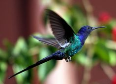 Beija-flor-tesoura, Swallow-tailed Hummingbird (Eupetomena macroura) by claudio.marcio2, via Flickr