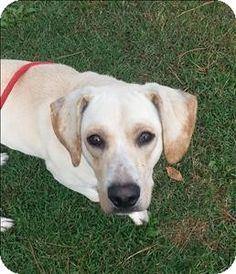 Birmingham, AL - Labrador Retriever Mix. Meet Bryant a Dog for Adoption.
