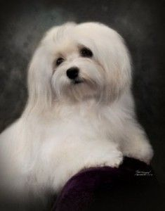 Havanese. If there's anything dreamier silky soft to touch, I don't know what it is.