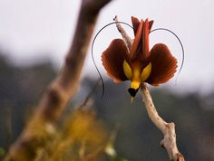 Image result for birds of paradise