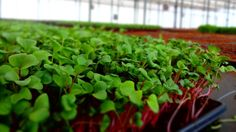 """A greenhouse facility outside Toronto is serving up microgreens, supercharged """"tiny plants"""" that pack a nutrient-dense punch and offer a local alternative to imported lettuce."""