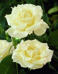 Миниатюрная роза Pascaline Роза Паскалайн: 313 изображений найдено в Яндекс.Картинках