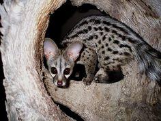 """Spotted Genet (Genetta genetta) -- photo by """"thilde"""