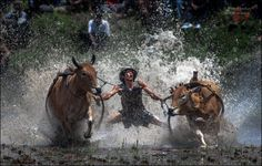 Pacu Jawi - Mud Cow Racing by Michail Vorobyev on 500px