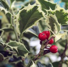 The bright emerging berries of Ilex aquifolium 'Madame Briot'. A fantastic bushy Holly with the RHS Award of Garden Merit. The berries are loved by wildlife. Wholesale Nursery, Autumn Garden, Garden Inspiration, Berries, Wildlife, Gardening, Bright, Fruit, Lawn And Garden