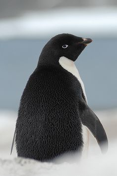 Adelie penguin on Antarctic Peninsula