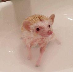 ježek lázeň Zvyknout do vody