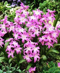 Chionodoxa luciliae 'Violet Beauty' - Glory of the Snow Bulbs for sale Bulb Flowers, Pink Flowers, Flower Bulbs For Sale, Flowers Perennials, Planting Flowers, Glory Of The Snow, Early Spring Flowers, Butterfly Weed, Butterflies
