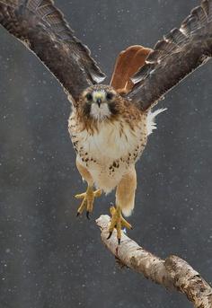peregrineinastoop:    Red-tailed Hawk by Earl Reinink