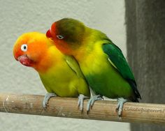 Kiss me if you can! --- Masked lovebirds (Agapornis personatus) teasing each other