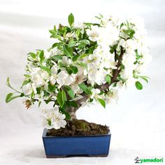 The second has a characteristic mottled bark, rather stiff branches of purplish color and blooms in spring at the ends of the branches; among its various characteristics, it is certainly its fine branching that makes it ideal as a bonsai. Fruit Plants, Fruit Trees, Organic Liquid Fertilizer, Bonsai Pruning, End Of Winter, All Fruits, Growing Tree, Apple Tree, Flowering Trees