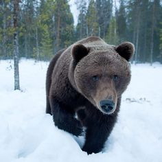 Photograph by Stefano Unterthiner @stefanounterthiner. A male brown bear is closely approaching my blind in the Finnish taiga. But no danger: he's just curious. During the past few years, I've spent weeks observing and photographing bears and I started recognise  each individual roaming in the area.  Follow me @stefanounterthiner to see more images from my personal projects and my work with @natgeo.  #bear #male #ecotourism #Finland #taiga #curiousity