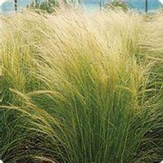 Tall Ornamental Grasses, Ornamental Grass Landscape, Evergreen Landscape, Tall Grasses, Outdoor Landscaping, Front Yard Landscaping, Front Yard Planters, Sea Beans, California Backyard