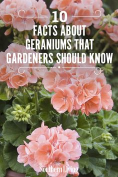 Geranium Planters, Geraniums Garden, Shade Garden Plants, House Plants, Garden Yard Ideas, Lawn And Garden, Garden Beds, Garden Landscaping, Garden Paths
