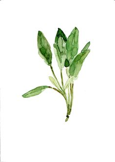 Sage leaves , original watercolor painting, herb, botanical, green, plant, fresh kitchen decor. $42.00, via Etsy.