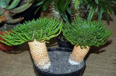 Succulent Plant Information Weird Plants, Unusual Plants, Rare Plants, Cool Plants, Succulent Bonsai, Cacti And Succulents, Planting Succulents, Cactus Plants, Plant Information