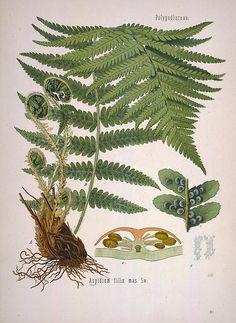 Driopteris filix-mas (Fougère mâle)