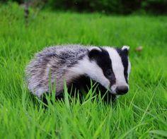jazbec - Google zoeken