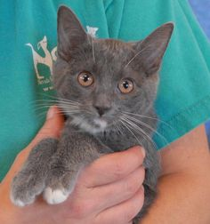 Anna Beth delights in playing with your hair, chasing her brothers in kitten tubes, and hiding in small boxes.  She is a fun-loving baby girl, a blue-grey & white shorthair kitten, about 3 months of age, now spayed and ready for adoption at Nevada SPCA (www.nevadaspca.org).  Her two brothers, Percy and Tyson, are also ready for adoption into loving, forever homes.