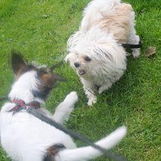 heididahlsveen:  #atsjoo og Nasse #dogs #hunder #puppy #valp #mixedbreed