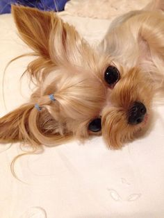 This Yorkie wants to snuggle.