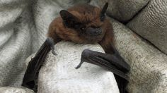 A bat with a taste for midges has increased in numbers in Scotland, according to a new report.